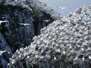 Gannet colony on Cape St. Mary's, Newfoundland. Photo: Jonathan Tourellot